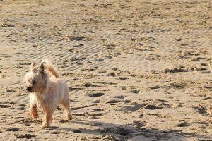 ケアンテリア,犬,海