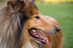 犬,ラフコリー