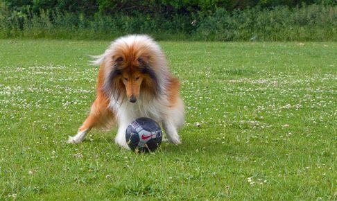 ラフコリー,サッカー