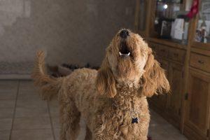 犬,吠える