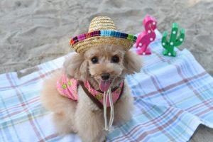DSchat 犬服 夏 海